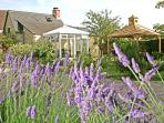 the garden with lavender in full bloom end of July