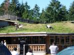 Goats on Roof - A unique shopping experience!!