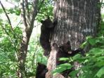 3 bear cubs in our tree at Halfway to Heaven