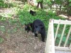 Momma Bear and her cubs visit the cabin often and delight guests