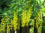 The Labernum hangs in yellow clusters all over the property in May. My favorite time of year.