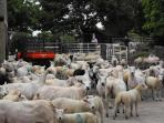 Sheep in the farmyard