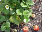 Strawberries From Our Vegetable Garden