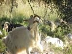 The melody of the goats' bells rings across the hillsides