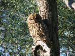 A family of large owls have made their home in the peaceful tranquillity of the olive grove  -