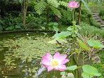 Goldfish Pool with Lotus