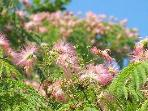 The Mimosa trees feel almost tropical - grab a lawn chair, some ice tea, and dream away!
