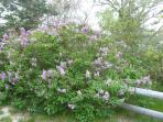 We have hundreds of lilac bushes in the spring!