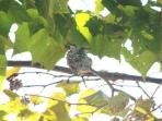 2 Baby Hummingbirds in nest behind house, They reuse there nests.