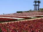Carlsbad Flower fields