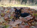 Spot the dog! Autumn leaves.
