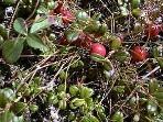 Wild island cranberries