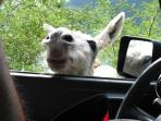 A resident donkey comes by our paved road to say 'hello'