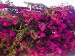 Bougainvillea growing on perimeter fence
