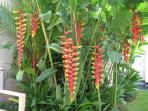 Our lush Heliconia garden
