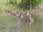 Mama Duck & Babies watch Muskrat swim by in front of them; It's a delight to watch all the wildlife!