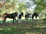 Our neighbor's horses will visit across the fence.  They love carrots & apples!