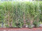 Tall privet hedge around private garden