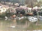 Horses in river