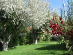 Old Apple Trees in May