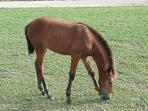 A young foal, one of many roaming freely on Vieques
