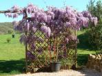 The scent of wisteria wafts across the gite terrace and private garden