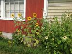 sunflowers beside the garage