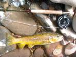 Nice Wild Brown trout caught behind the house