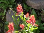 Paintbrush are prolific in summer