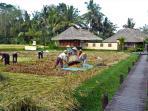Rice Harvest at the villa