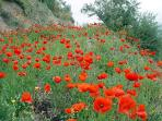 Wild poppies bloom amongst the olive trees during the Spring