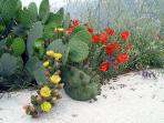 Cactus and Poppy flowers by the Villa during the Spring