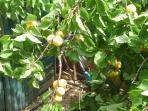 Enjoy naturally grown apricot fruits from the tree at the backyard !