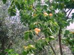 Apricot tree full of indulging fruits !