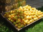 Apricot fruits collected for confectionery preparations !