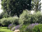 rosmary and lavender bushes