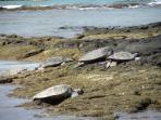 Lots of opportunities to view and swim with the Green Sea Turtles on the big Island of Hawaii.