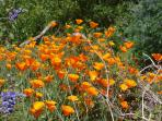 California Poppies at PT. Lobos State Park