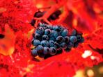 Award winning cabernet grapes
