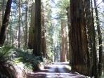 A ride down Howland Hill Road is a must to truely experience the 'Old Growth Redwood'