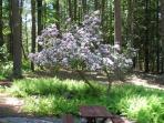 Mountain laurel in bloom.
