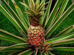Bali Villa Shanti - garden fresh fruit