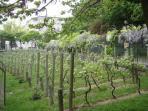 Vines in the Parc de Belleville