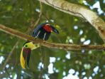 HEAR THE UNIQUE CALL OF THE TOUCAN