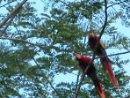 Magestic Scarlet Macaws