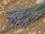 Lavander from the area,welcome!!