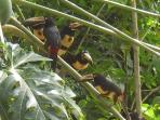 Aracaris love papaya!