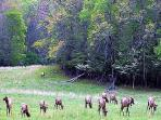 See the elk graze in Cataloochee Valley