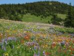 Wildflowers in Summer - Sun Peaks is beautiful all year round & offers mountain biking and hiking