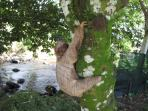 Babby three toed sloth living across the street